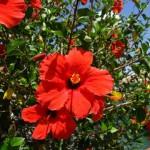 Гибискус садовый, уход и размножение