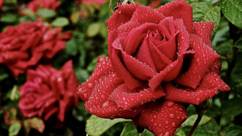 Nature___Flowers_Beautiful_red_roses_in_a_garden_under_the_rain_056488_