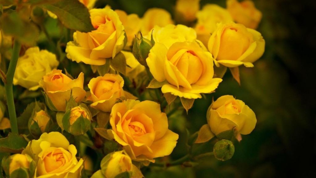 Nature___Flowers_Beautiful_yellow_roses_in_the_garden_055770_