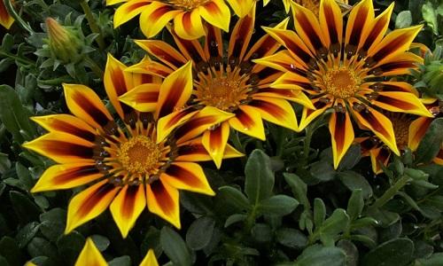 cvety-gacaniya-vyrashhivanie-5