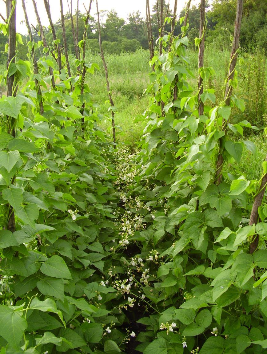Зелёная фасоль выращивание и уход 3