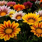 Цветы газания выращивание