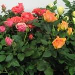 Уход за розой Кардана