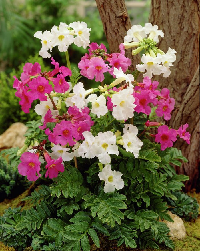 Incarvillea delavayi mixed