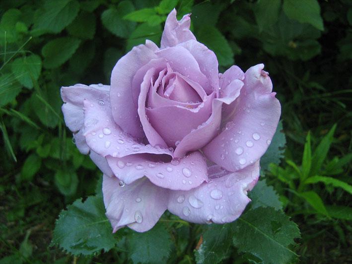rosa-sisi