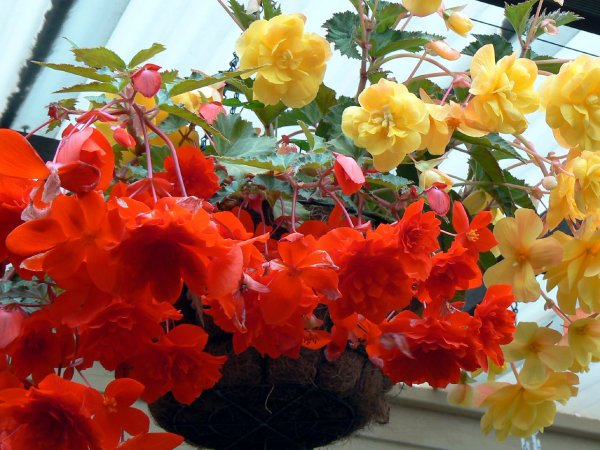 Begonia_tuberhybrida_Illumination_Mix