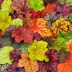 Цветок гейхера: посадка и уход