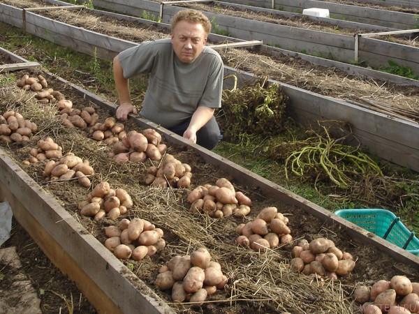 как садить картошку под солому-2