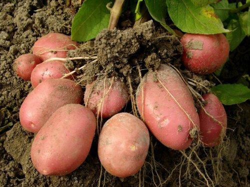 как садить картошку под солому (4)