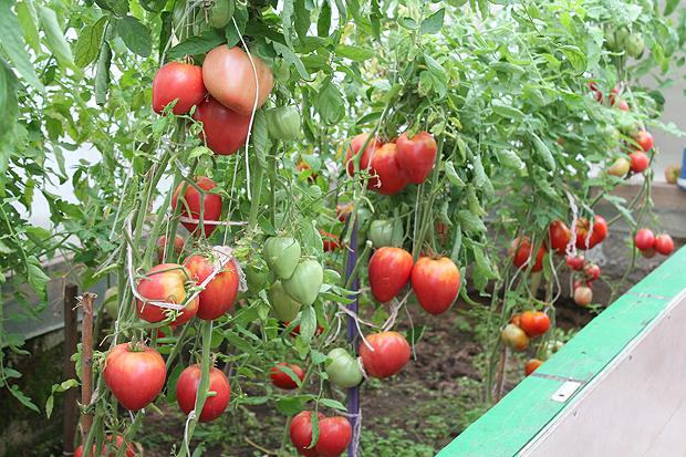 vyracshivanie-pomidorov-v-teplice