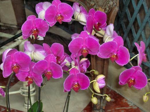 Phalaenopsis-520x391