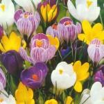 Цветы крокусы  посадка и уход