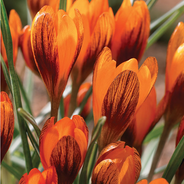 crocus-orange-monarch