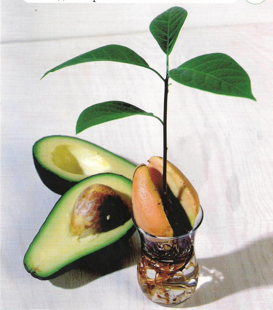 Взрослое авокадо в домашних условиях фото