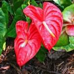 Цветок антуриум – как ухаживать за растением