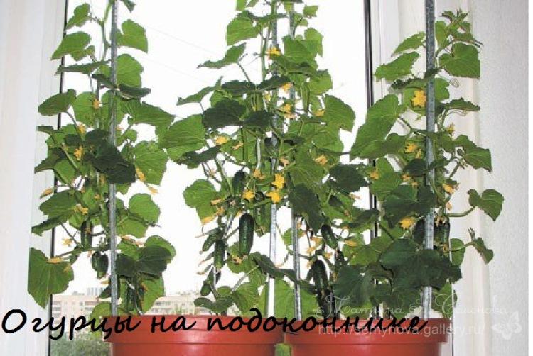 Огурцы на балконе, выращивание в пластиковых бутылках.