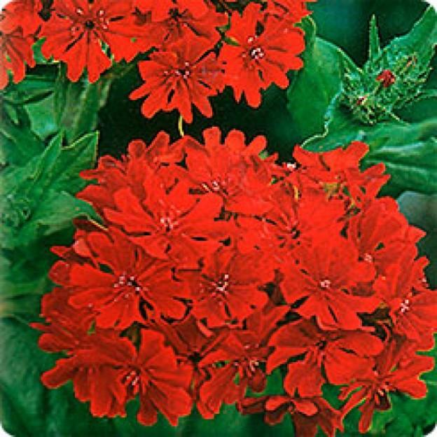Цветы мальтийский крест посадка и уход