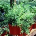 Выращивание аспарагуса