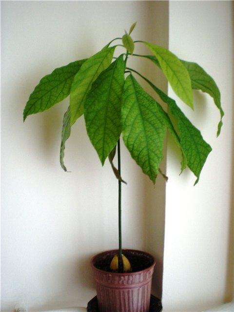 Может ли вырасти авокадо в домашних условиях