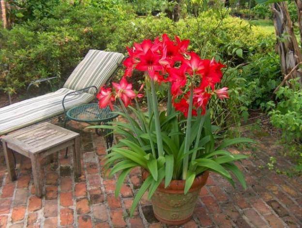 Амариллис уход и выращивание в саду 31