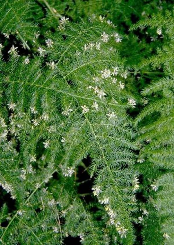 Asparagus-setaceus-flowers