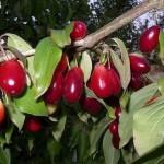 Гуми ягоды: посадка, выращивание, уход