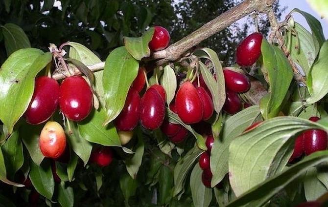 Гуми - выращивание и уход (11)