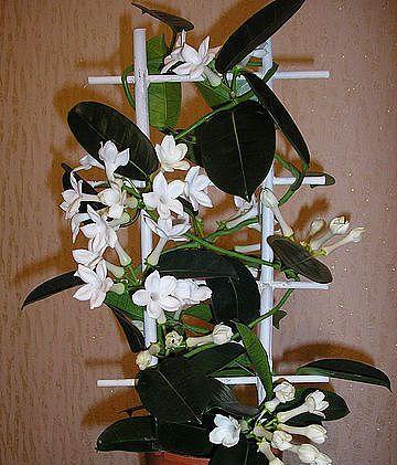 Цветок стефанотис (4)