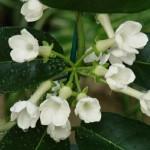 Цветок стефанотис (мадагаскарский жасмин)