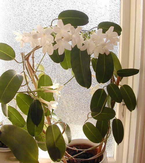 Цветок стефанотис (8)