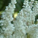 Цветы астильбы