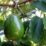 Авокадо. Выращивание в домашних условиях.