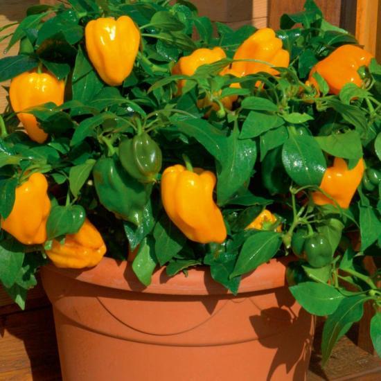Комнатные перцы выращивание 35