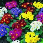 Цветок примула садовая