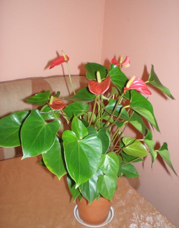 Уход за домашними цветами в домашних условиях антуриум