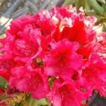 Рододендрон ( азалия ) : посадка и уход