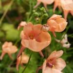 Цветы диасция