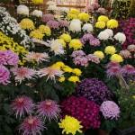 Хризантемы : посадка и уход