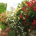 Плетистая роза – королева сада