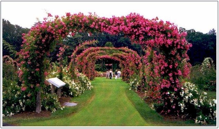 Плетистая роза (4)