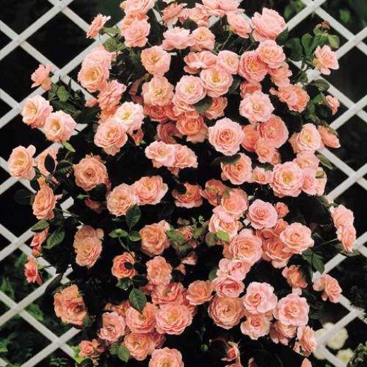 Плетистая роза (5)