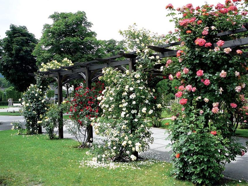 Плетистая роза (6)