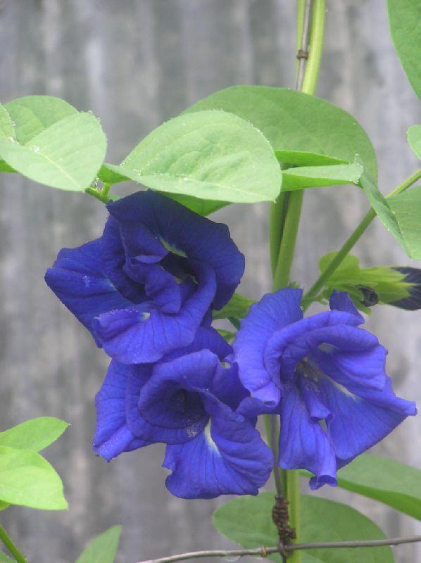 Цветок клитория тройчатая (11)