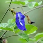 Цветок клитория тройчатая