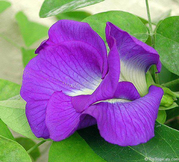 Цветок клитория тройчатая (4)