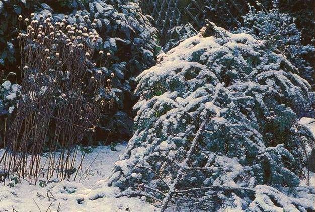 Укрыти роз на зиму (10)