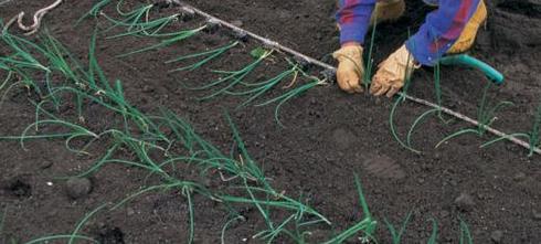 Выращивание лука (12)