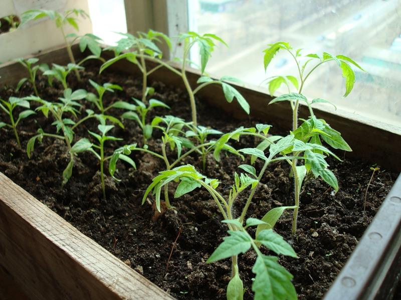 Выращивание помидор (17)