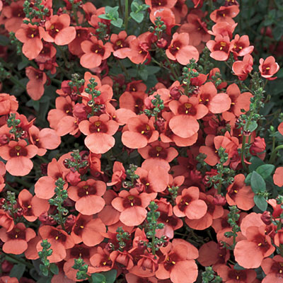 diascia_flying_colors_coral