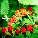 Выращивания земляничного шпината и правила ухода за ним